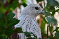 Eagle, Kochi