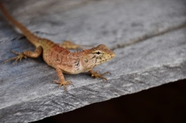 Changeable Lizard on our balcony
