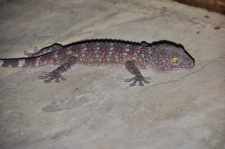 Bathroom Tokay gecko