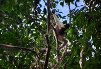 Wild Gibbon
