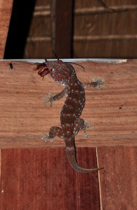 The insect devouring bedroom Gecko