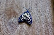 Electric blue butterfly