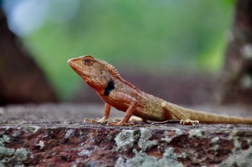 Changeable Lizard