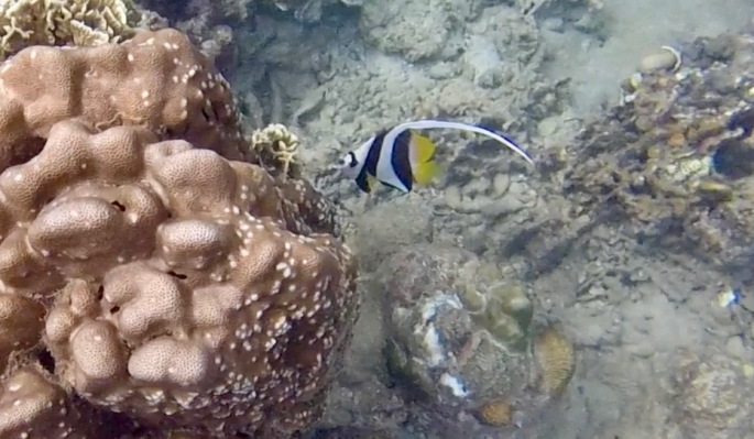 Black, white and yellow striped fish with tail