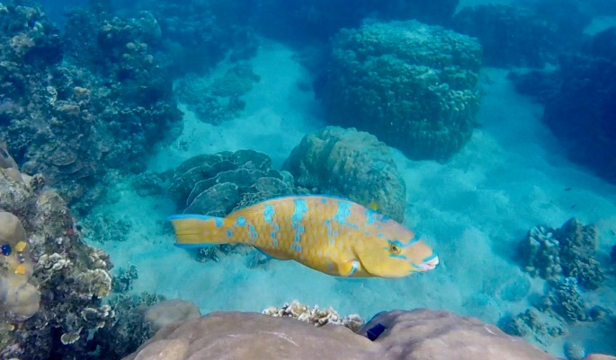Yellow and blue fish with large teeth