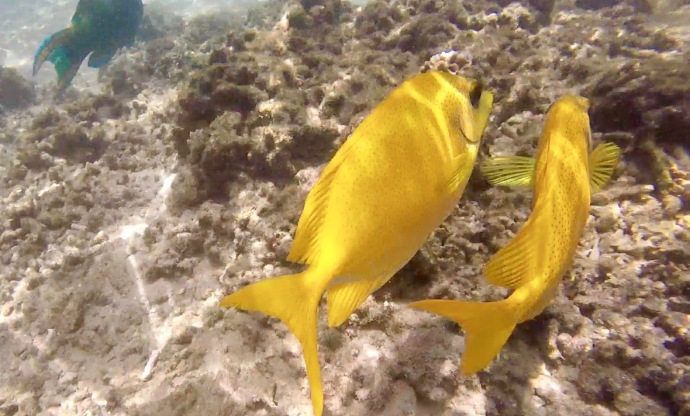 Bright yellow fish with subtle polka dots