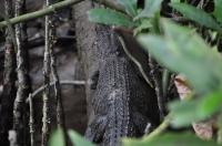 Baby croc!