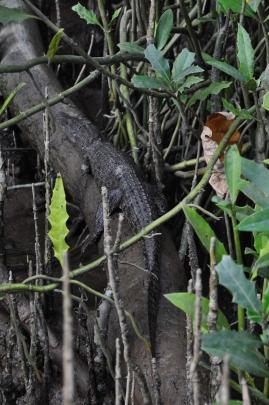 Spot the baby crocodile