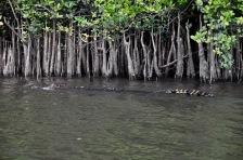 Male crocodile swimming upriver