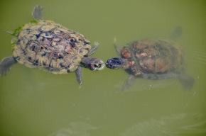 Turtle kisses
