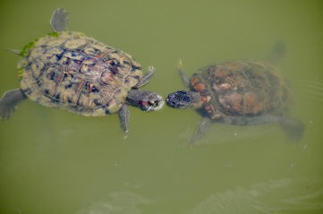 Turtle kisses