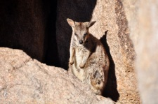 Sleepy rock wallaby