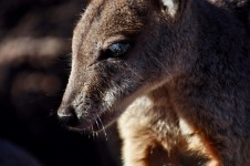 Rock wallaby close up