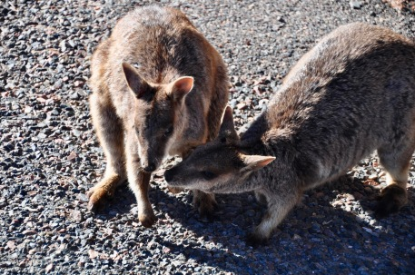 Wallaby kisses