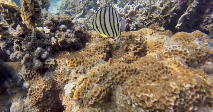 Small yellow fish with black stripes