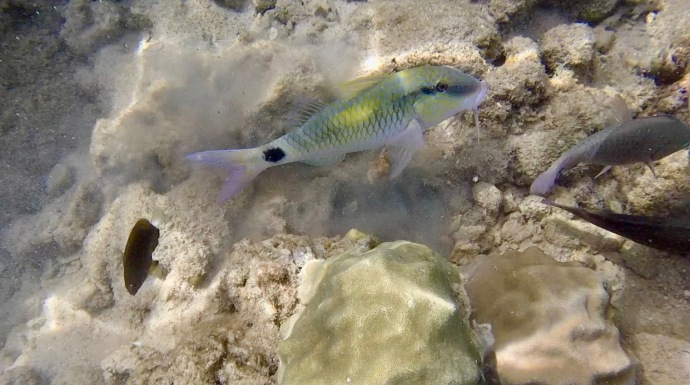Yellow and white fish with whiskers