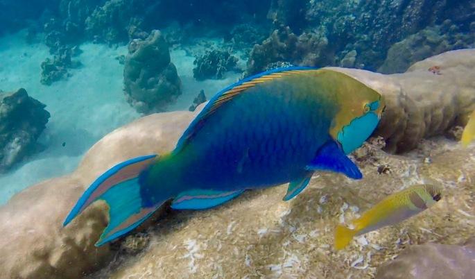 Large, multicoloured fish with big teeth