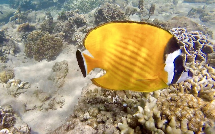 Bright yellow fish with black and white striped face