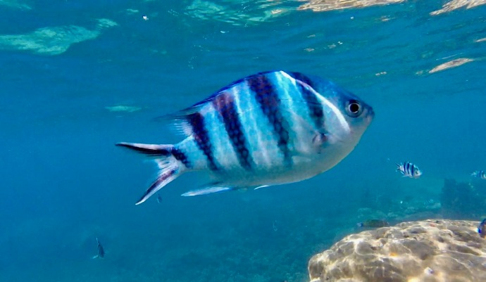 Small blue and black striped fish