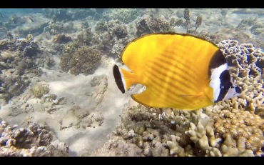 Pocket Butterflyfish