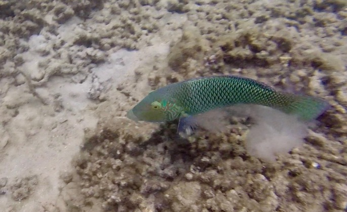 Large green fish with black scales