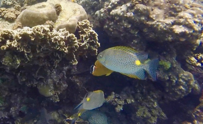 Polkadot fish with yellow patch and spines