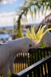 Wild cockatoo