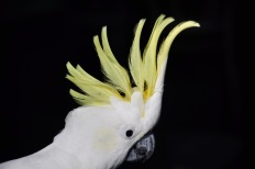 Sulpher-crested cockatoo!