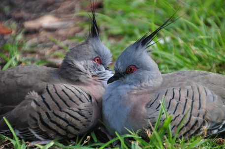 Crested pigeons (or as I call them radical pigeons)