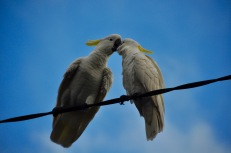 Cockatoo kisses