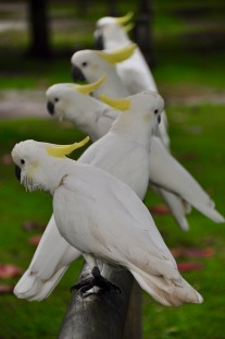 Cockatoo line up