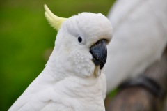 Cockatoo!