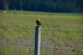 Yellowhead bird