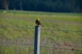 Yellowhead bird