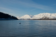 Black swan on lake tekapo