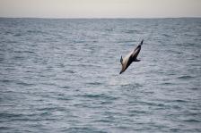 Dusky dolphin backflip