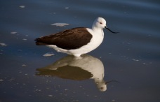 Andean Avocet with a crazy beak!