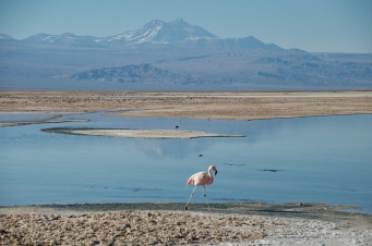 Flamingo on lake Chaxa