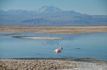 Flamingo on lake Chaxa