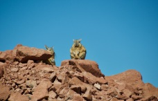 Viscacha (type of chinchilla but looks like a rabbit!)