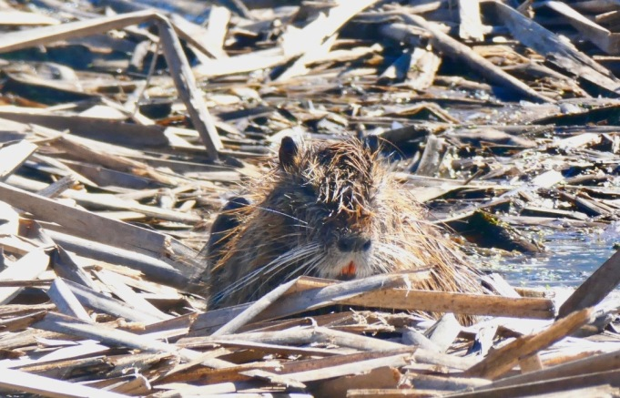 Orange toothed Coypu