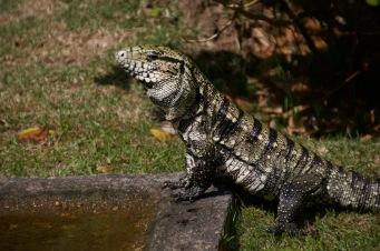Argentina giant Tegu lizard