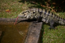 Largest species of Tegu Lizard