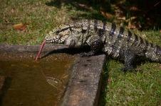 Largest species of Tegu Lizard