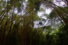 Bamboo jungle walks