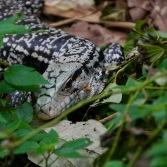 Argentine Tegu Lizard