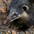 Coati close up