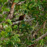 Squirrel Cuckoo bird with long tail feathers