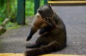 Coati cleaning