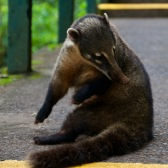 Coati cleaning